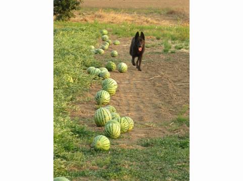 Buddy-Watermelons