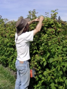 Matt picking raspberries